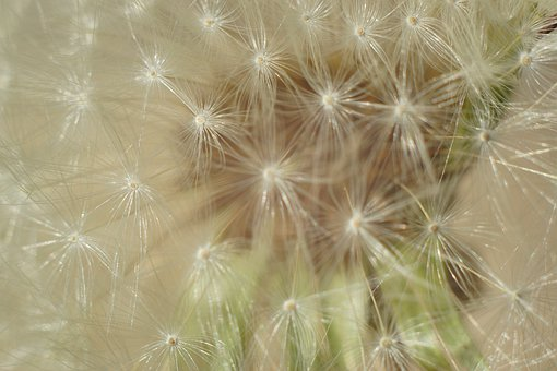 Dandelion, Flower, Seeds, Spring, Nature, Bloom, Macro
