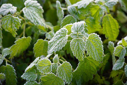 Winter, Frost, Hoarfrost, Stinging, Nettle, White