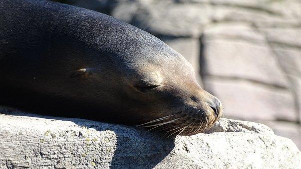 Seal, Seelöwe, Sunbathing, Relax, Mammal, Robbe