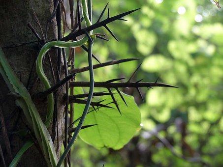 Thorns, Vines, Tree, Plant, Sharp, Thorn, Nature, Wild