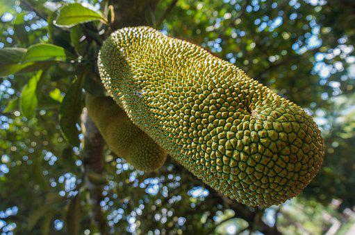Fruit, Cempedak, Jackfruit, Tree, Tropical, Delicious