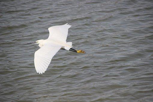Little Egret, Bird, Water Bird, Heron, Pelican Formes