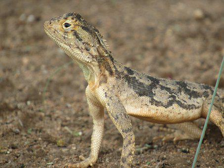 Reptile, Lizard, Gecko, Wild, Wildlife, Nature