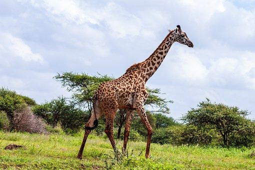 Amboseli National Park, Kenya, Africa, Kilimanjaro