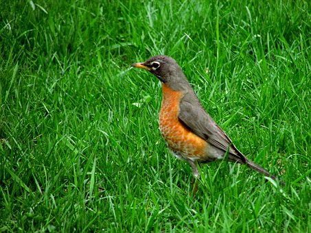 American Robin, Bird, American, Robin, Wildlife, Nature