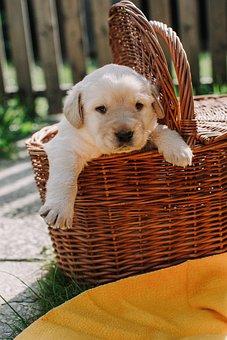 Dog Dogs, Puppy, Animal, Pet, Basket, Cute, White