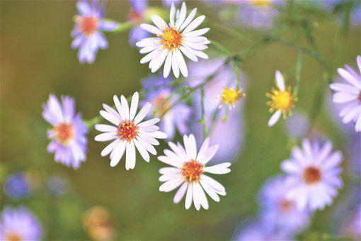 Flowers, Park, Asters, Walk In The Park, Hh
