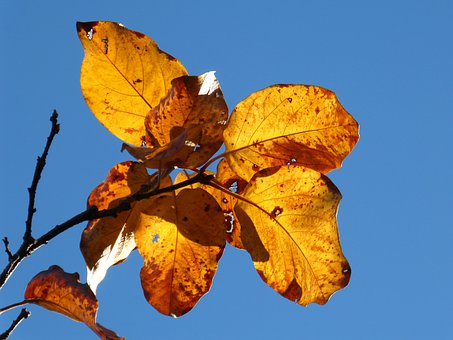Autumn, Leaves, Yellow, Falling Leaves, Translucent