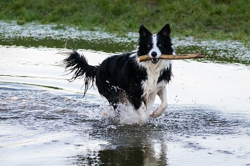 Collie In Water, Dog With Stick, Border Collie