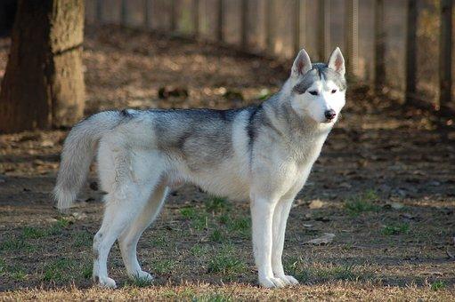Husky Siberian, Dog, Husky, Animal, Mammal, Fur, Dogs
