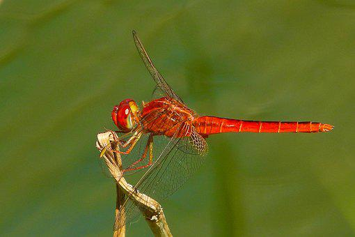 Dragonfly, Insect, Red, Perched, Plant, Water Surface