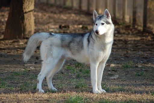 Siberian Husky, Dog, Animal, Husky, Pet, Fur, Eyes