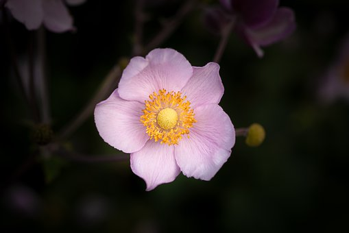 Anemone, Fall Anemone, Flower, Blossom, Bloom, Pink