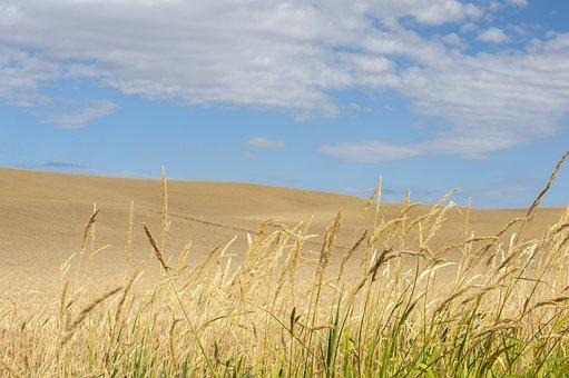 Wheat, Grass, Field, Farm, Agriculture, Nature, Grain