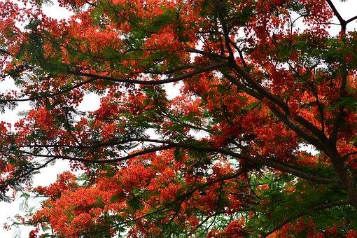 Flamboyant, Caesalpinioideae, Exotic, Red Blossom