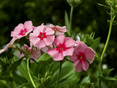 Flowers, Phlox, Pink, Summer, Flora, Nature, Beautiful