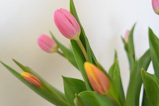 Tulips, Flowers, Cut Flowers, Blossom, Bloom, Flora