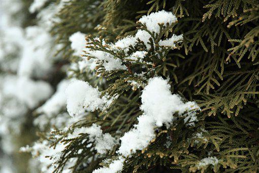 Snow, Nature, Christmas, Pine, Tree, Forest, Winter