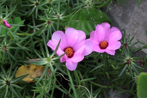 Pink Flower, Summer, Flowers, Plants, Garden, Petal