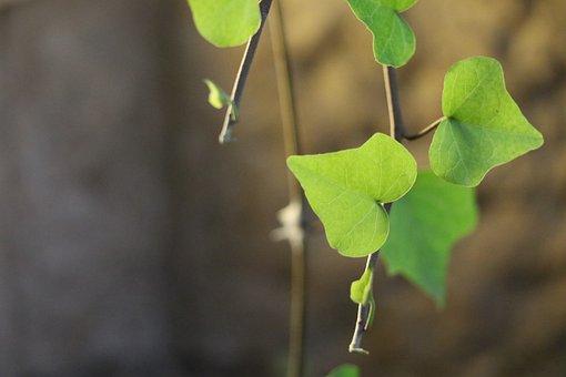 Heart Shaped Leaf, Green Leaf, Small Field Depth