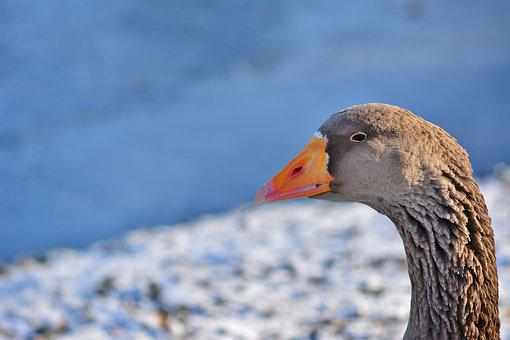 Nature, Winter, Greylag Goose, Wintry, Cold, White