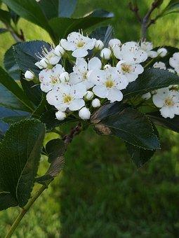 Hawthorn, Tree, Flower