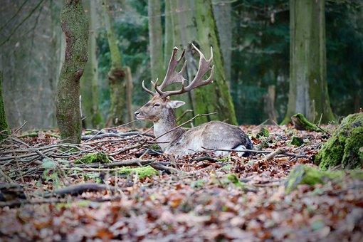 Fallow Deer, Hirsch, Antler, Forest, Ruminant