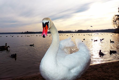 Mute Swan, Tom, Sunset, Lake, Beach, Water Bird