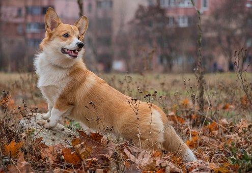 Corgi, Waiting, Looking, Dog, Shepherd's Dog, Autumn
