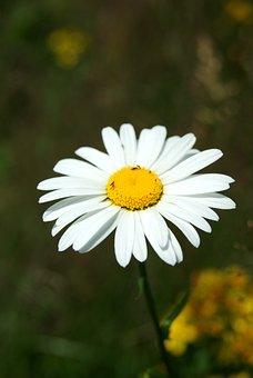 Flower, Daisy, Macro, Nature