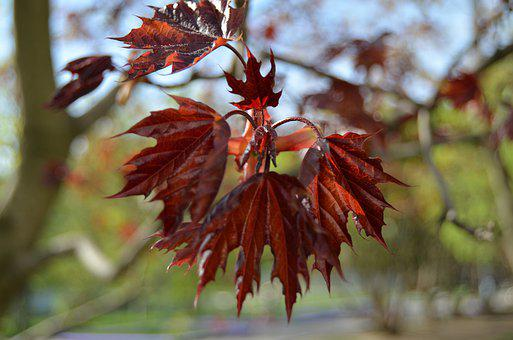 Spring, May, Maple, Nature
