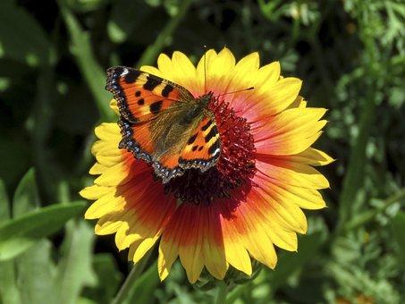 Butterfly, Hives, Flower, Gaillardia, Nature, Yellow