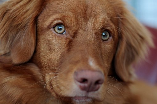 Toller, Nova Scotia Duck Tolling Retriever, Puppy