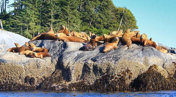 Sea Lions, Rock, Ocean, Coast, Mammal, Fin, Colony