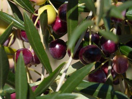 Olives, Olive, Mature, Oil