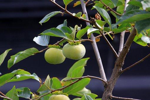 Persimmon, Autumn, Nature, Fruit, Wood, In Autumn