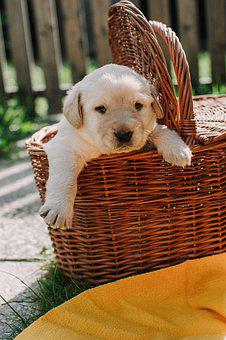 Dog Dogs, Puppy, Animal, Pet, Basket, Cute, White
