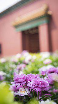 Peony, Flowers, Flower, Green, Pink, Building, Plant