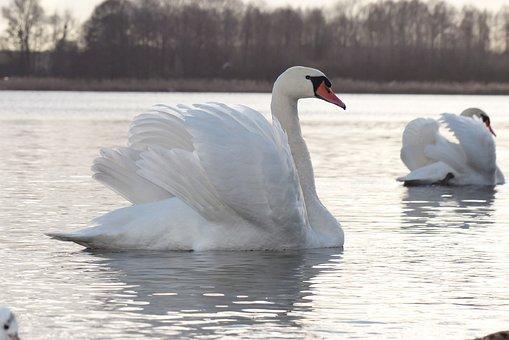 Mute Swan, Tom, Portrait, Charming, Plumage, Lake