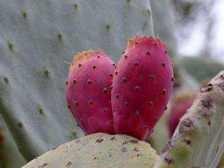 Prickly Pear, Shovel, Prickly Pear Cactus, Cactus
