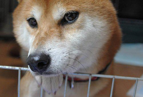 Shiba, Dog, Puppy, Cute, Japanese, Inu, Japan, Charming