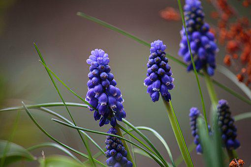 Grape Hyacinth, Blue, Flowers, Nature, Purple, Close Up
