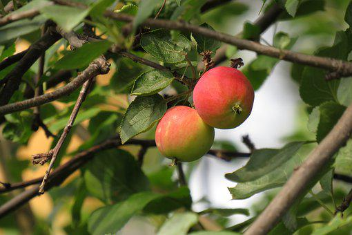 Apples, Tree, Green, Red Apples, Summer, Garden, Nature
