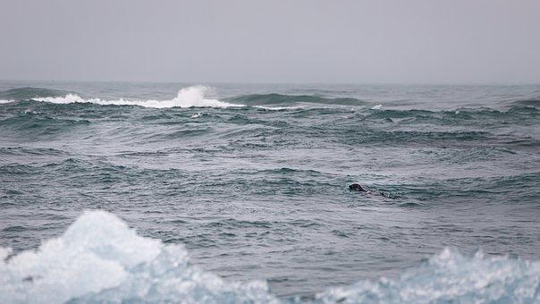 Robbe, Ice Floes, Iceland, Ice, Icebergs, Sea