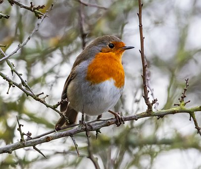 Robin Redbreast In Tree, Robin, Robin Redbreast