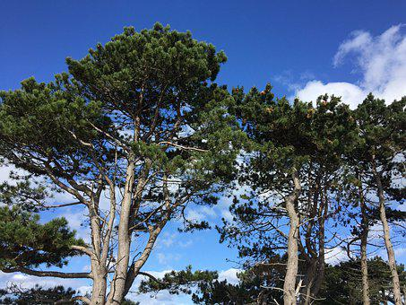 Summer, Pine Trees, Guy, Sky, Blue, Clouds, Conifers