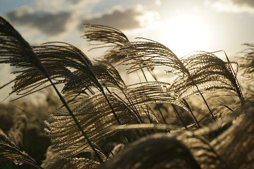 Glow, Silver Grass, Jeju, Sunset, In Autumn