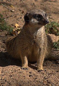 Meerkat, Sitting, Scharrtier, Suricata Suricatta