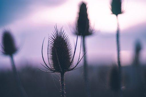 Thistle, Plant, Fruit, Autumn, Fall, Moody, Flower