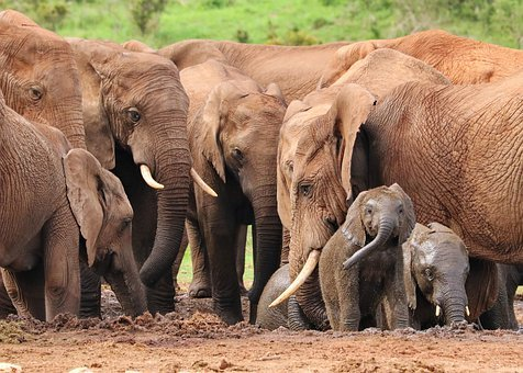 Elephant, Herd Of Elephants, Water Hole, Africa